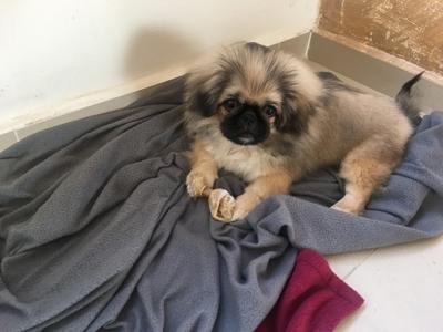 מעולה כלב פיקניז גיזעי הכלב בן חיות מחמד פקינז - ad OF-62