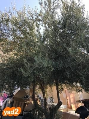 עדכני עץ זית עתיק בן כמאה לגינה עצי עתיקים יד שניה - ad KH-47
